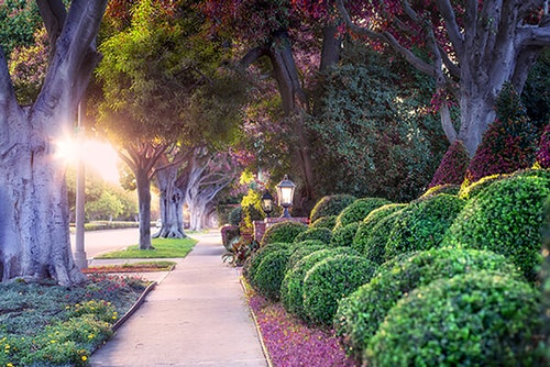 sidewalk scene with trees on left and boxwood shrubs on right