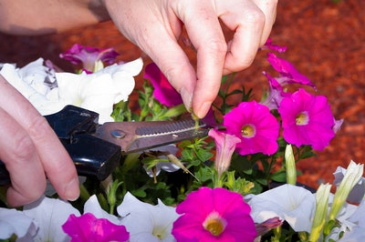 A person using pruners or clippers to deadhead or clip off dead petunias from a beautiful display of pink and white petunias