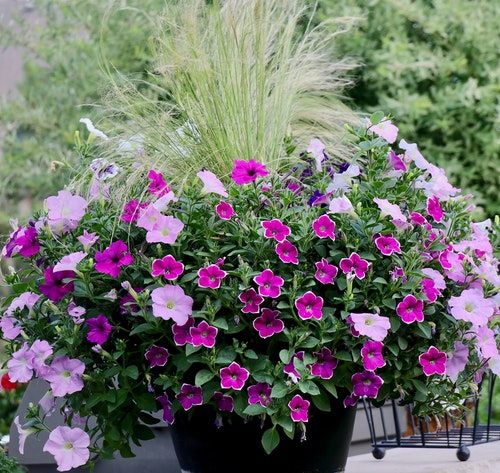 container garden with dark purple pink and light pink petunias and fountain grass in a dark pot on a sidewalk