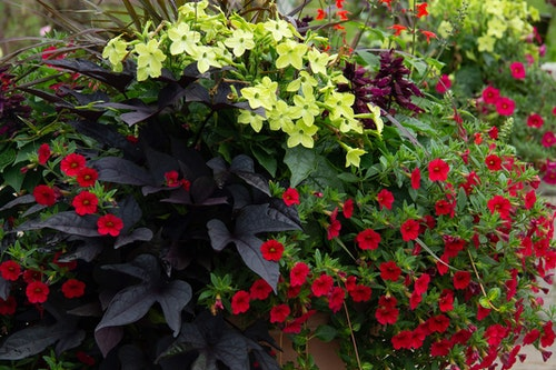container garden with dark purple black ipomea, red calibrachoa, yellow floewrs and purple fountain grass