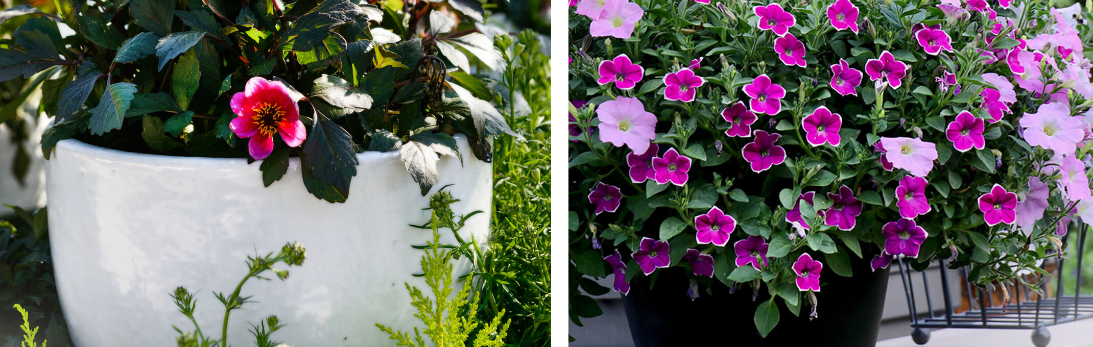 2 images of container gardens - the first is of a white glazed outdoor container with a pink rose inside and the second is a black pot with purple pink petunias