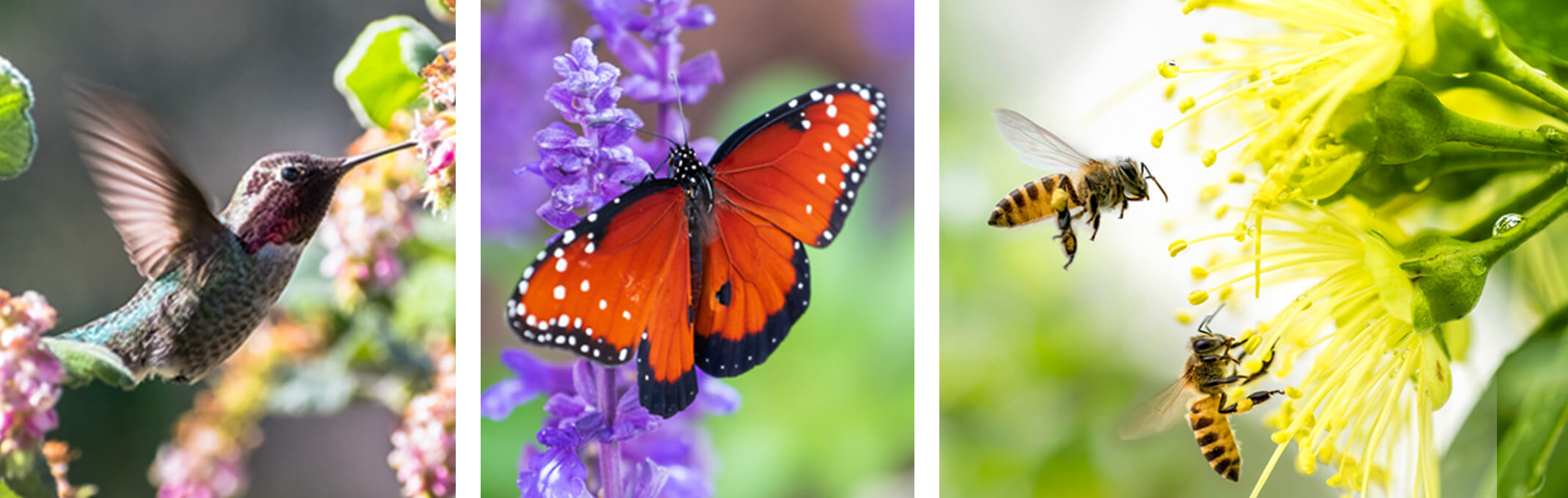 3 images of pollinators - the first is a hummingbird, the second a butterfly on lavender and the third is 2 bees extracting pollen from a yellow flower
