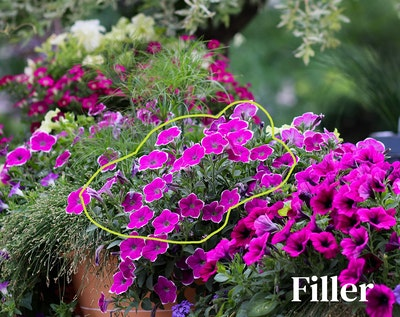 Multiple container gardens full of pinkish purple petunias and eeocharis radican grasss with filler outlined