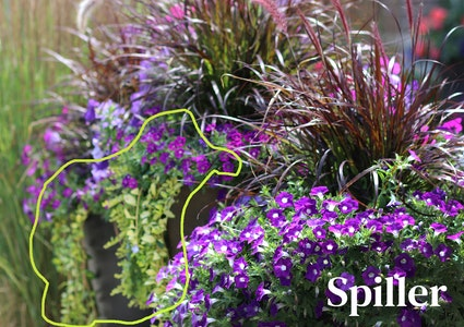 2 container gardens full of purple flowers as fillers, fountain grass as the thriller and possibly creeping jenny as the spiller with spiller outlined