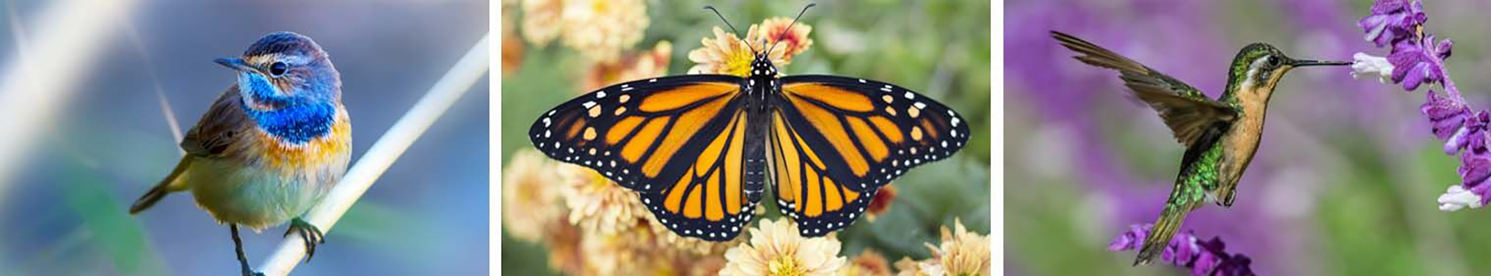 3 images of pollinators with blue bird, monarch butterfly on flowers, hummingbird drinking nectar from flower