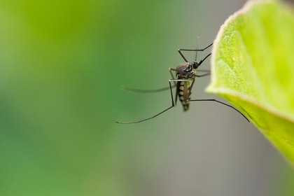 Closeup of a mosquito on a leaf