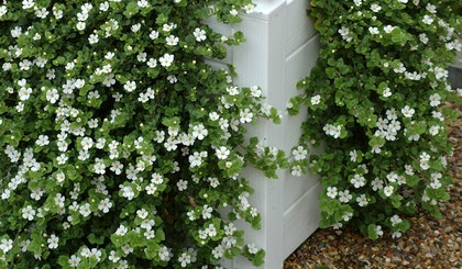 Bacopa white perennial trailing down from a white planter box