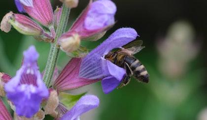 bee looking for pollen inside purple salvia