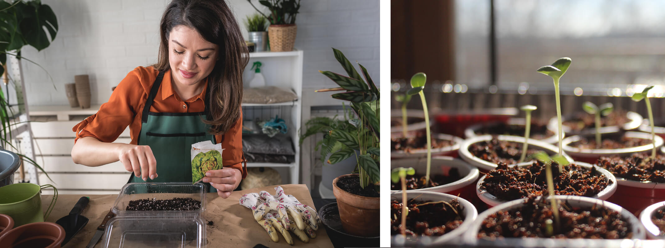 Woman planting seeds indoors from seed packet and second image of seedlings coming up from cups of dirt inside