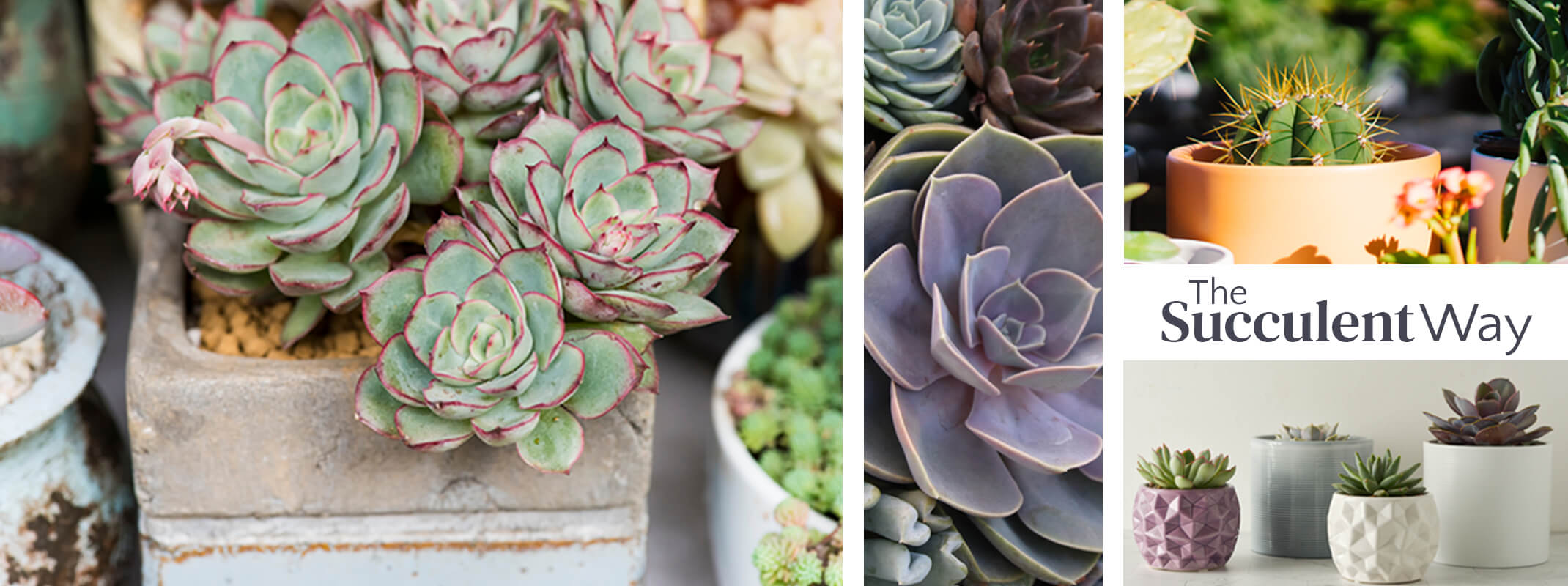 succulents in rustic containers, assorted succulents, cactus in peach and pebble pottery and single succulents in modern pots with the words the succulent way on the image