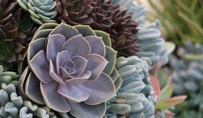 assorted succulents with greens, purples and maroon colors
