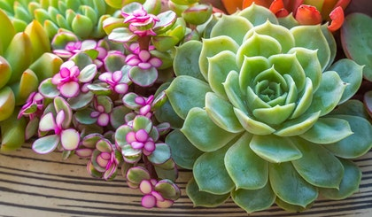 colorful succulents in a stripe bowl