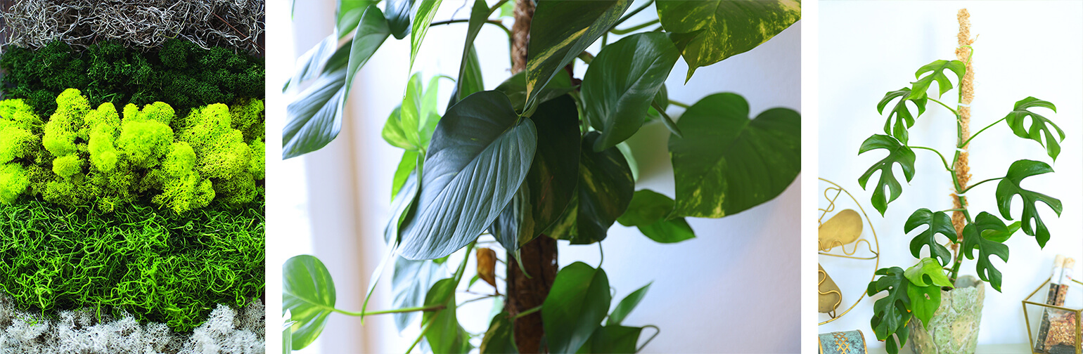 3 images: a variety of mosses; a closeup of a plant growing on a moss pole; a monstera growing with a moss pole next to a fan and other decor on a table