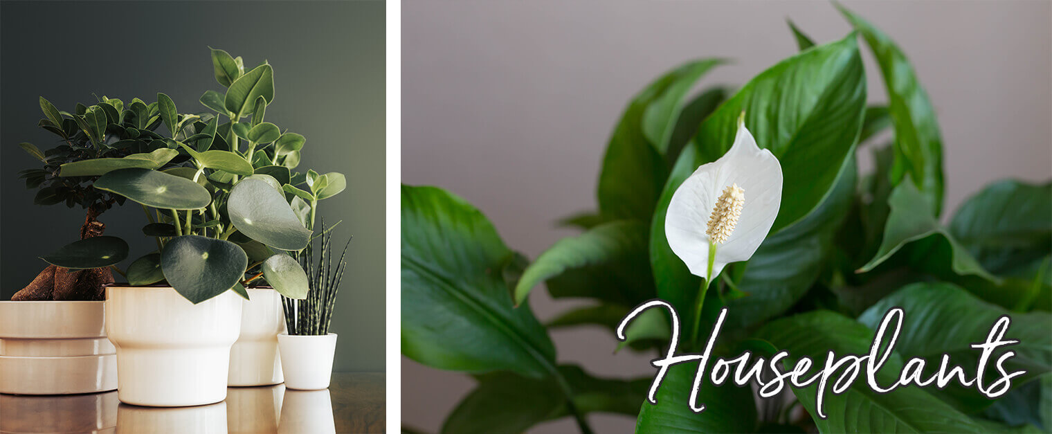 """2 images: a variety of houseplants in white pots with a green wall in the background; and a closeup of a peace lily with white text on it that reads """"Houseplants"""""""