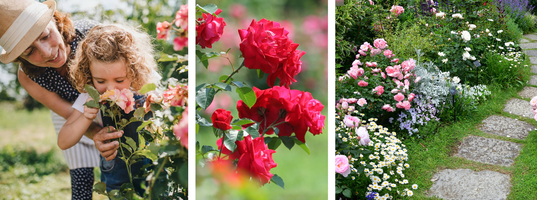 3 images with the first being a mother and her daughter smelling roses and the second red roses growing in the garden and then the third image roses in a garden mixed with other flower and a path running down the middle
