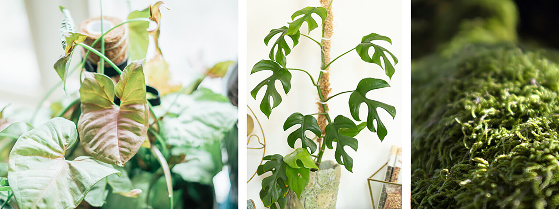 3 image of houseplants with diy moss poles in the houseplants in the first two images and the last is a clos up of moss