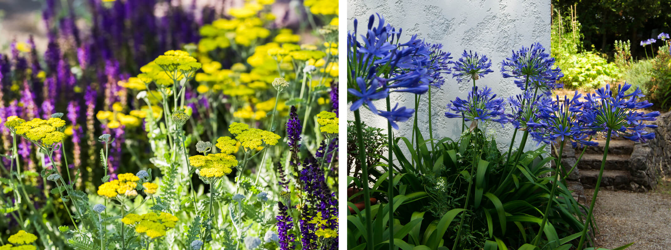 2 images with the first showing yellow yarrow and salvia and the second agapanthus growing next to a white stucco walled home