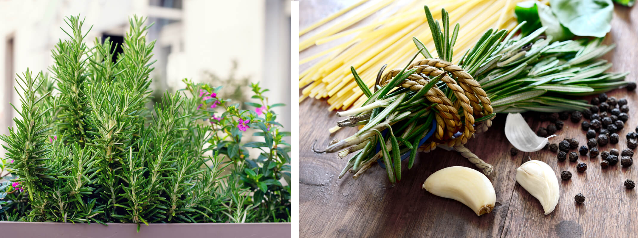 2 images of rosemary with the first of rosemary growing in a planter on a balcony and the second image shows rosemary clipped and tied  in twine next to fresh garlic and peppercorns and dried pasta