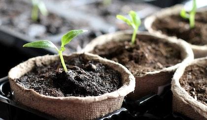seedlings in biodegradeable pots in seed trays
