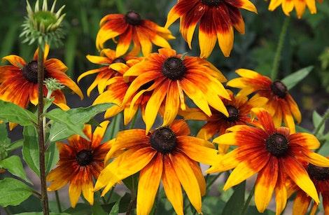 rudbeckia perennial flowers