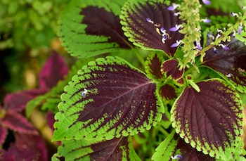 coleus plant green with purple center and little blooms of purple flowers