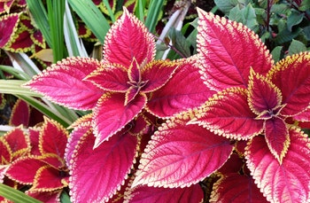Coleus plant with slightly purplish pink leaves edged in a light yellow, surrounded by other green foliage