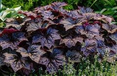 dark purple or black heuchera or coral bells perennial