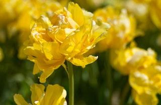 yellow margarita tulips from tulip bulbs