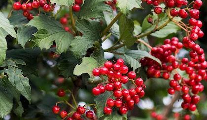 viburnum shrubs with berries