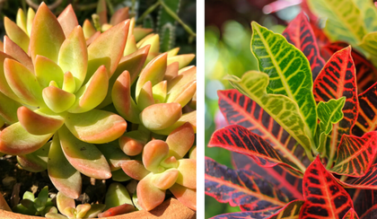 two images with the first being a stonecrop or sedum and the second a croton houseplant