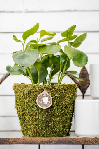A houseplant in a moss pot on a metal display rack next to white pots