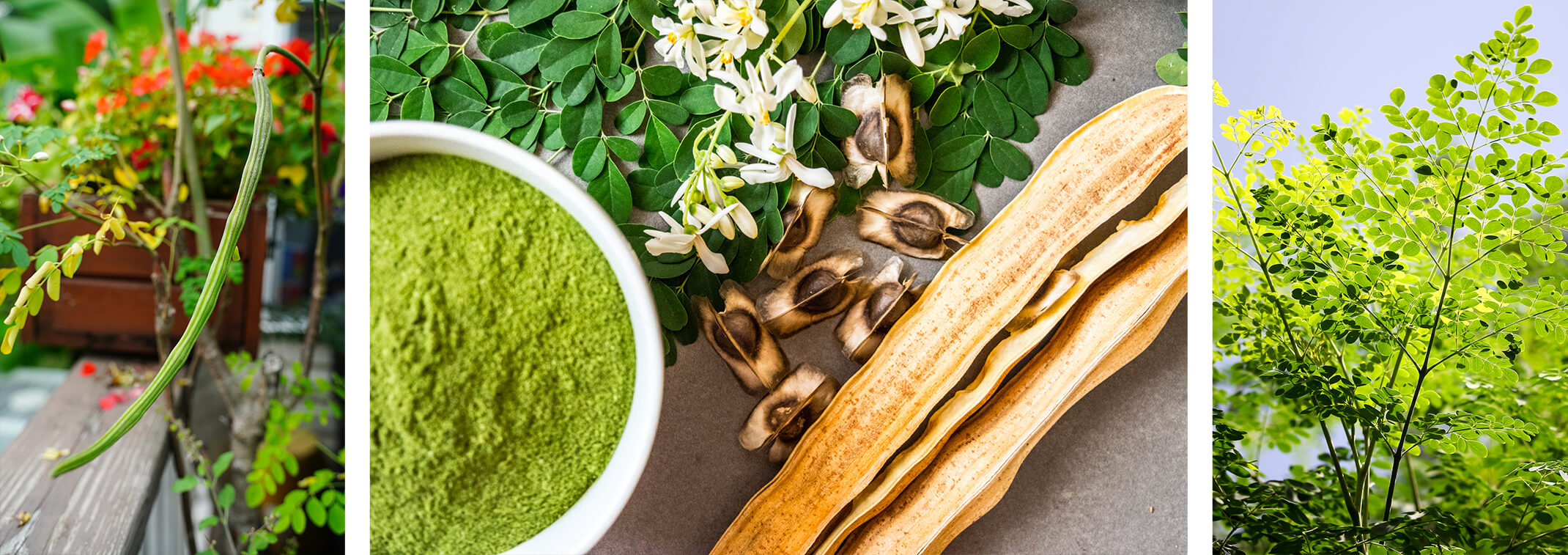 3 images - a closeup of a moringa tree pod with blurred leaves and red flowers in the background; moringa tree powder in a white bowl, moringa leaves, flowers, seeds and pods on a grey surface; and a moringa tree against a blue sky