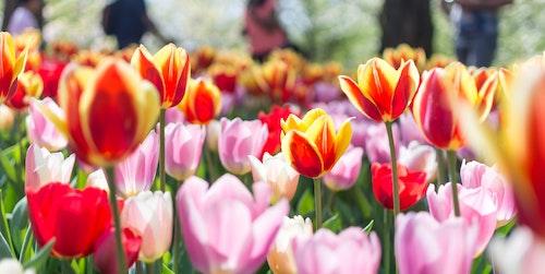 Foto van tulpen