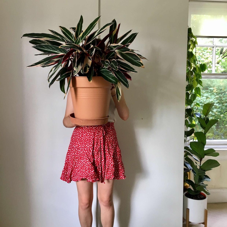 Stromanthe Sanguinea Triostar in the summer