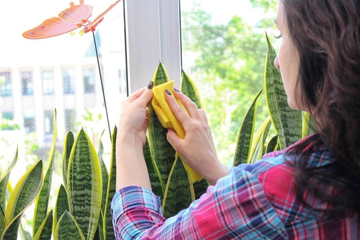 Sansevieria plant next to window