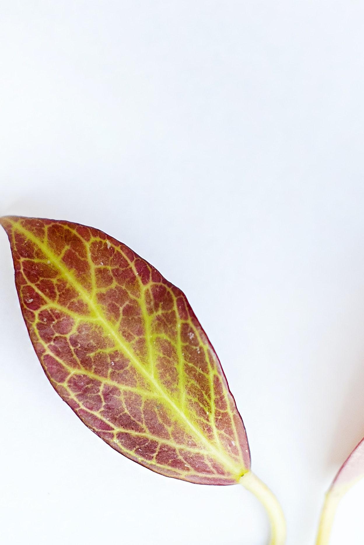 Hoya leaf