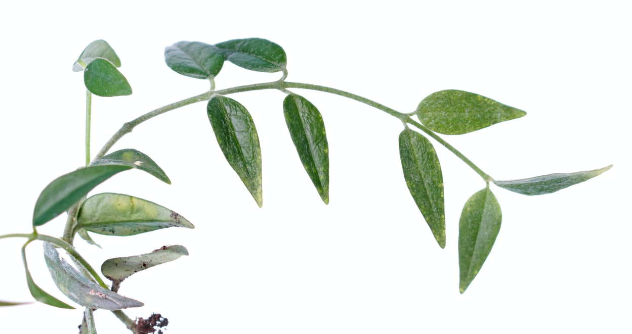 Hoya lanceolata ssp. bella