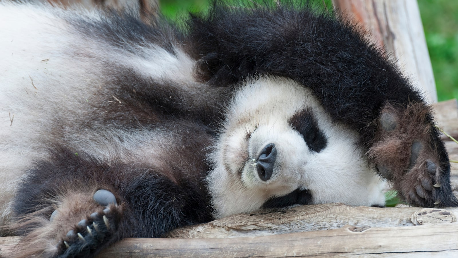 Image with a panda gentle closing eyes and taking a nap
