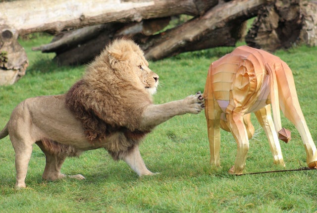 Lion at Longleat