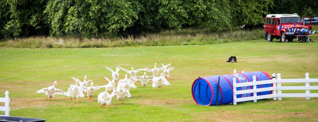 Ducks Herding Bath