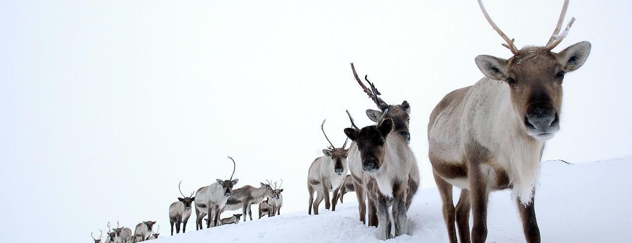 Cairngorm Reindeer Herd in Winter