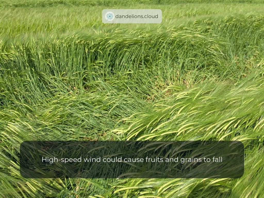 High-speed windcould cause fruits and grains to fall