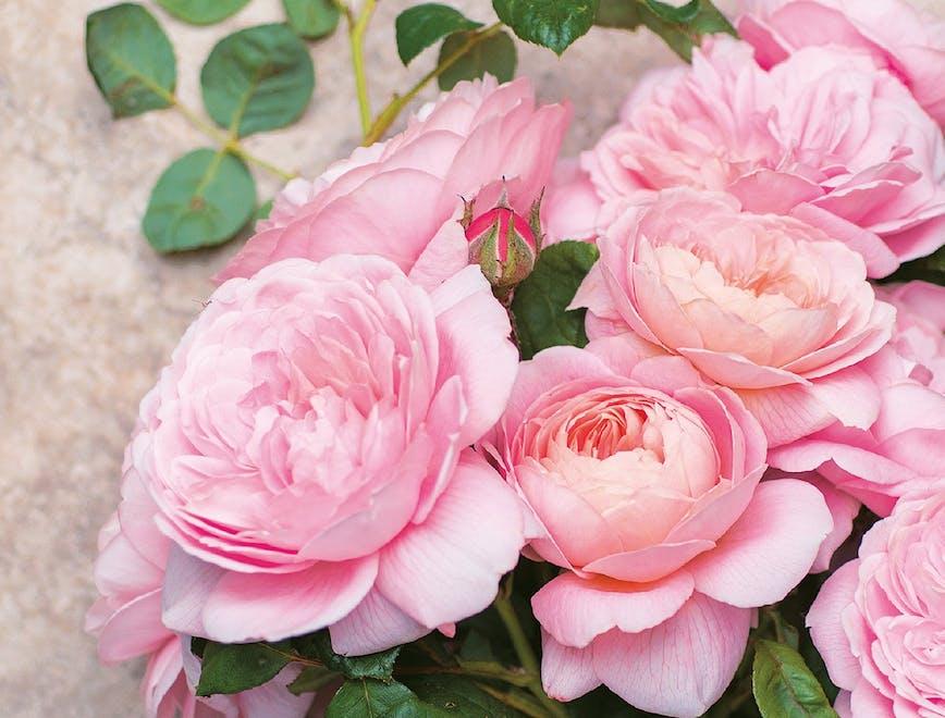 rosa fiore proprietà