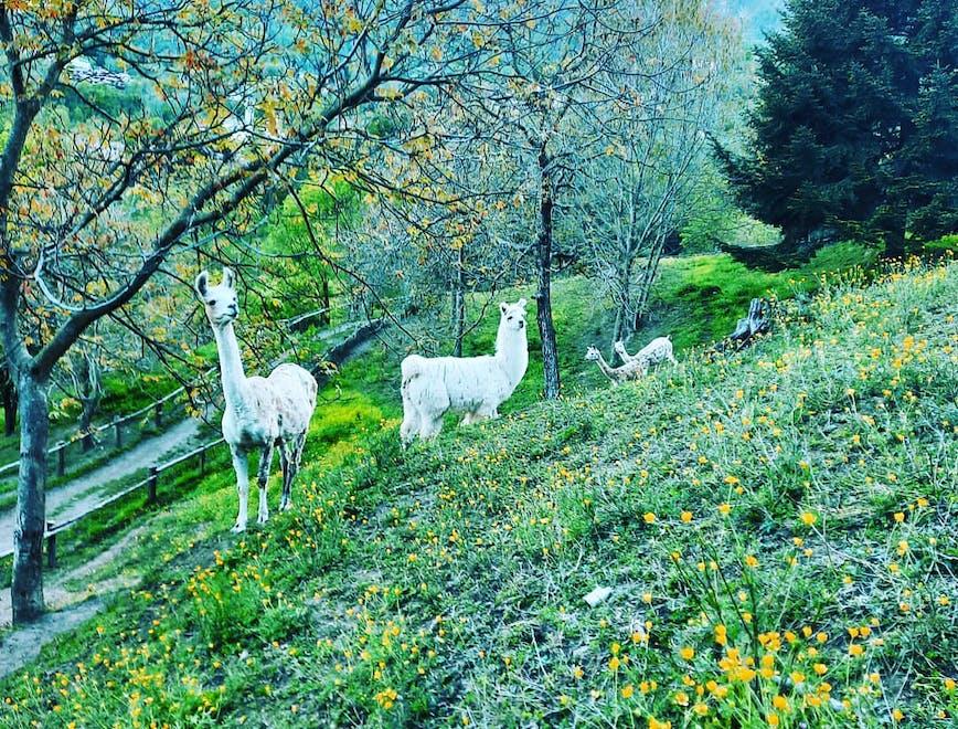 Lama e alpaca bianchi pascolano nella natura