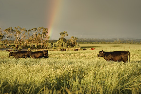 fields and cattle
