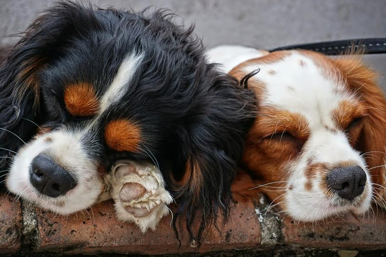 What are the calmest dog breeds?