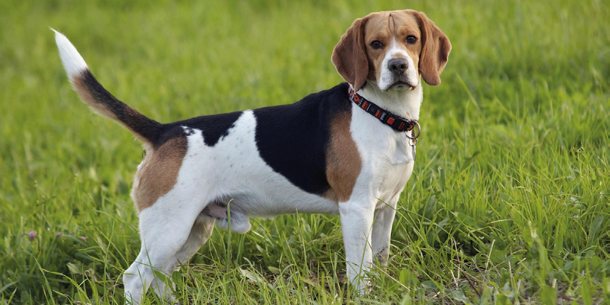 Cover Image for Los perros pueden oler el cáncer en la sangre con 97 % de exactitud