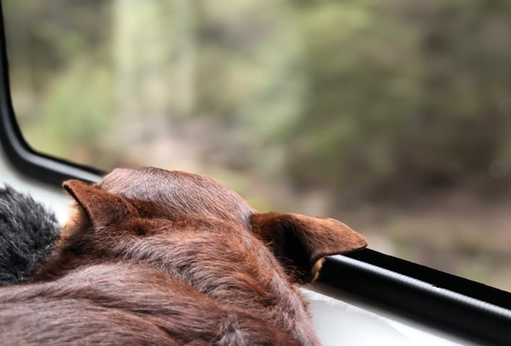 Dog resting looking out a van window