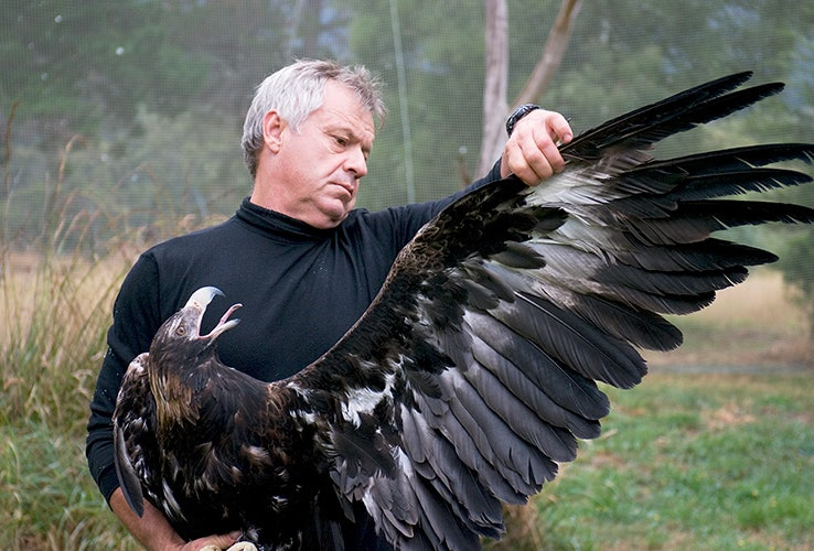 Person checking an eagle's wings.
