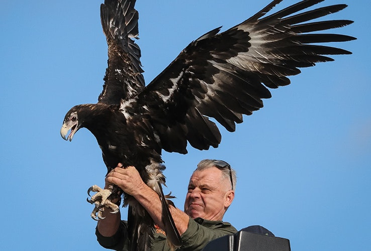 Person releasing an eagle.